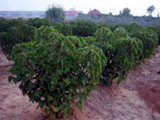 Jatropha crop
